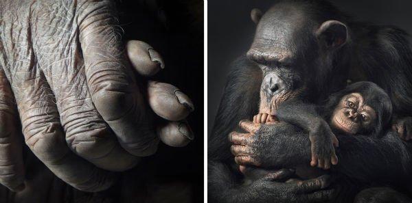 a-chimpanzee-affectionately-cradles-its-child-w600