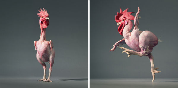 a-featherless-chicken-dances-in-front-of-the-camera-w600