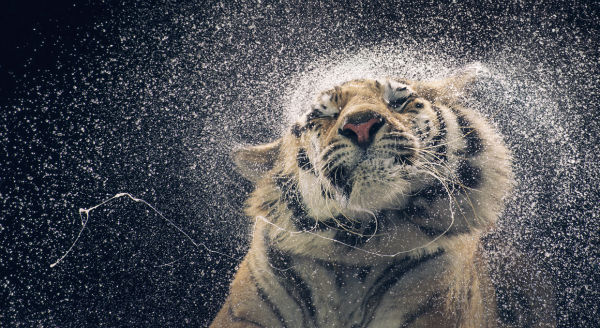 a-tiger-furiously-shakes-its-head-after-being-doused-with-water-w600
