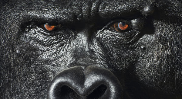 these-incredibly-human-like-gorilla-eyes-are-mesmerizing-w600