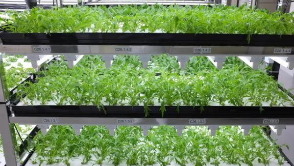 toshiba-lettuce-shelves