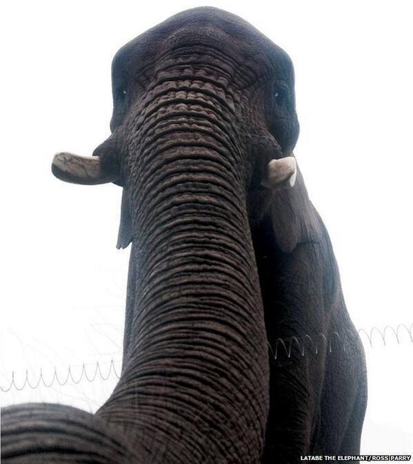 این احتمالا اولین سلفی یک فیل است.