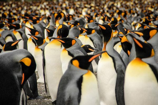 لیسا وَز این عکس را در گرجستان جنوبی، جزیره ای در اقیانوس اطلس جنوبی، از پنگوئن های پادشاه عکاسی کرده است.