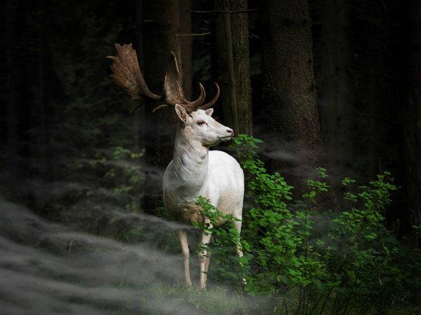 در عکس یک گوزن کوچک سفید را می بینید که در مه صبحگاهی در پارک ملی ایفل در آلمان ایستاده است.