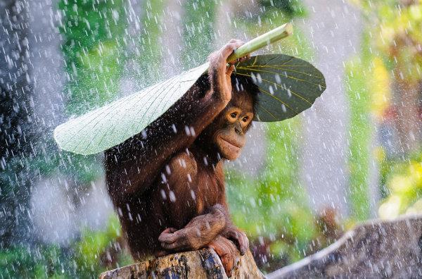 اندرو سورینو میگوید: «من در بالی در کشور اندونزی در حال عکاسی از اورانگوتان ها بودم که باران شروع به باریدن کرد. لحظه ای پیش از آن که دوربین را به کناری بگذارم چشمم به این اورانگوتان افتاد که برگ موز را بر روی سرش گرفته بود تا از باران در امان بماند.»