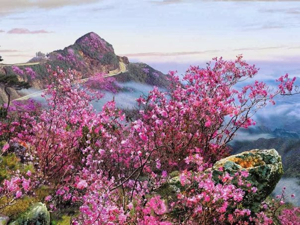this-beautiful-wallpaper-translates-to-irons-azalea-and-shows-the-flowering-azalea-shrubs