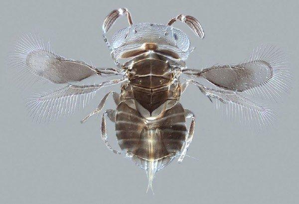 این زنبور انگلی که تخم هایش را در بدن جانوارن دیگر می گذارد، فقط و فقط 0.75 میلی متر است.