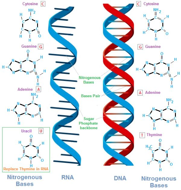 dna-and-rna