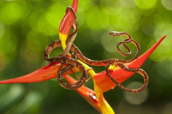 رتبه دوم انتخاب کاربران؛ کاراکورلا یک نوع مار بی آزار است. این حیوان مدام در حال حرکت است و شکار کردن بدن کاملش در یک عکس، چالش اصلی عکاس به شمار می رفته. این تصویر در کاستاریکا شکار شده است.