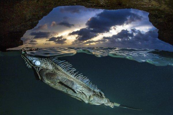 برنده شاخه دنیای طبیعت؛ یک ایگوئانای سبز در حال نفس گرفتن از زیر آب. این عکس در یکی از قار های دریایی جزایر کارائیب شکار شده است.