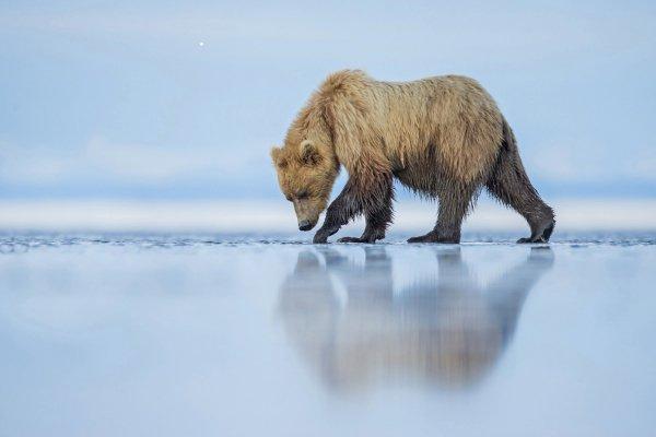 یکی از فینالیست های شاخه دنیای طبیعت؛ یک خرس قطبی در آلاسکا.