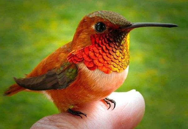 smallest-bird-in-the-world (1)