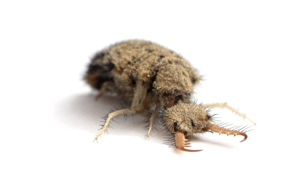 antlion-larva4