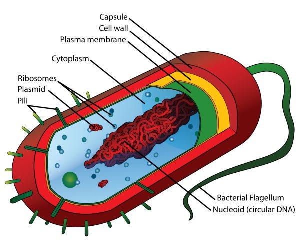 Average_prokaryote_cell-_en