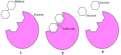 cell-enzyme