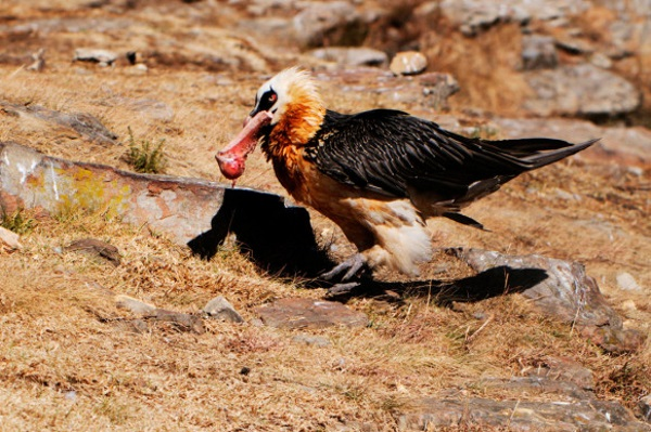 Vulture2-582x387