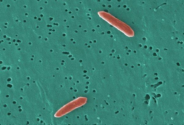 genus-bacteroides