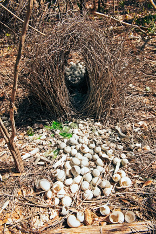 Great bowerbird (Chlamydera nuchalis), avenue bower constructed by the male to attract a mate, decorated with white objects which litter the area around the bower. Berry Springs, Northern Territory, Australa