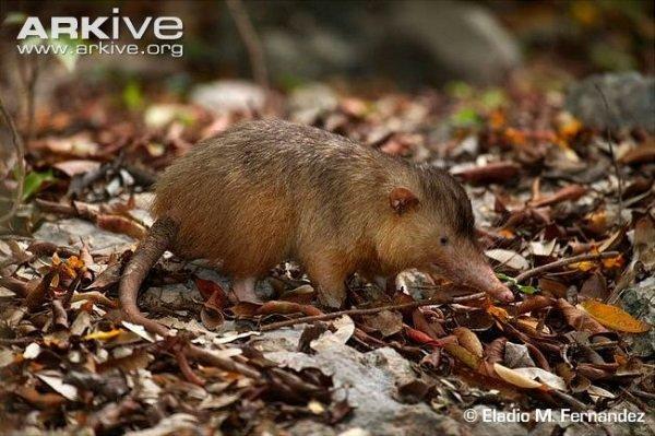 Hispaniolan-solenodon-in-leaf-litter