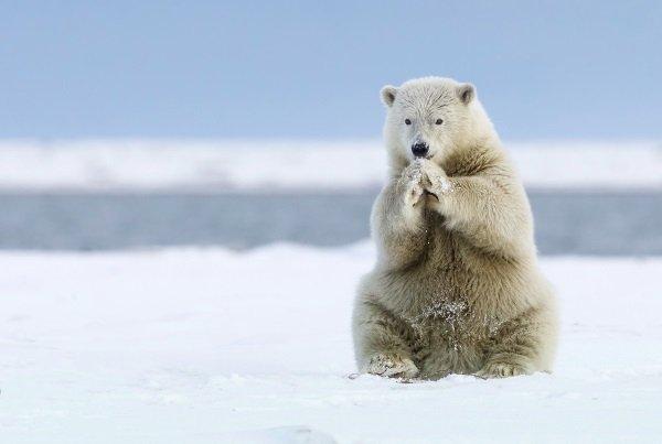 خرس های قطبی برای آنکه به طعمه هایشان (یعنی سیل ها) دسترسی پیدا کنند به شدت به یخ ها وابسته اند که متاسفانه پدیده ای به نام گرمایش زمین که مسببش هم انسان بوده آسیب زیادی را متوجه این یخ ها کرده است. عکس در Kaktovik آلاسکا گرفته شده.