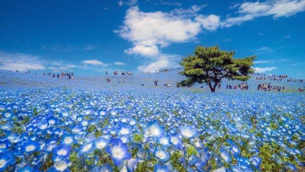 بهار در ژاپن. توریست ها و مردم محلی قدم زدن روی این فرز زمردی را که در پارکی به نام هیتاچی ایجاد می شود بسیار دوست دارند.