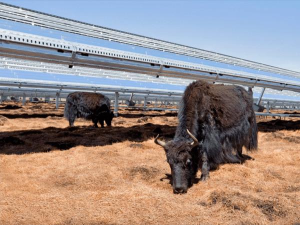 solar-yaks