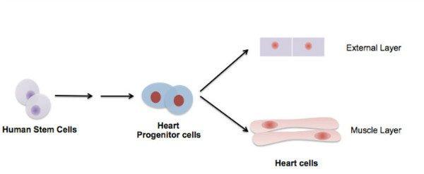 heartstemcells