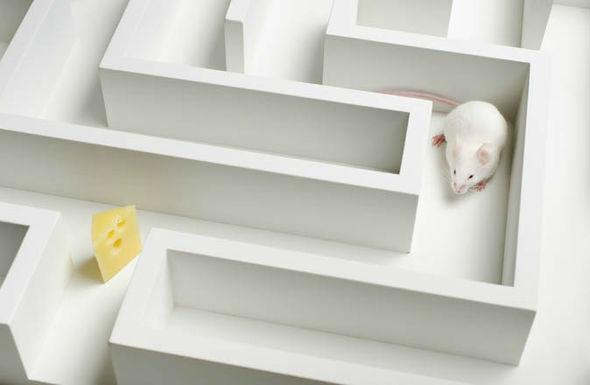 موش آزمایشگاهی