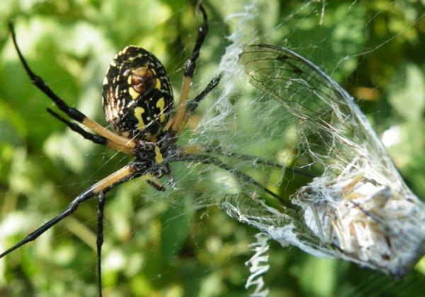 ابریشم عنکبوت