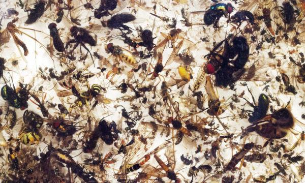 انقراض حشرات