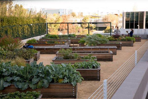 پرورش مواد غذایی توسط کارکنان گوگل