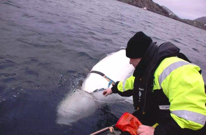 نهنگ سفید