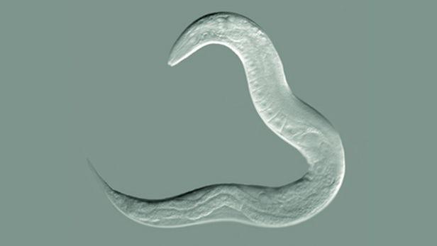 نتیجه یک تحقیق علمی: کرمها رفتارهای اکتسابی را به نسلهای بعد منتقل میکنند