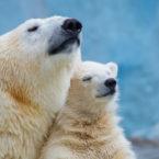 دانشمندان با الهام از موهای خرس قطبی عایق بهتری ساختند