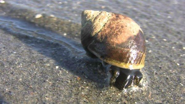مادهای ضد سرطان در حلزونهای دریایی
