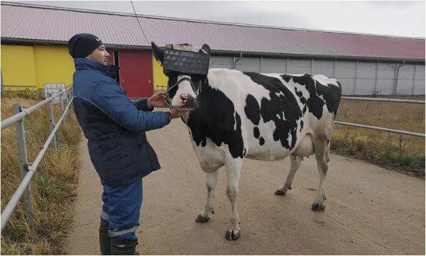 گذاشتن هدست واقعیت مجازی روی سر گاوها برای افزایش شیردهی