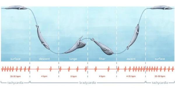 ضربان قلب نهنگ