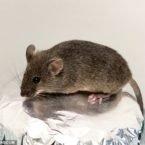 دانشمندان چینی از سلول های تخمدان موش تخمک بارور ساختند