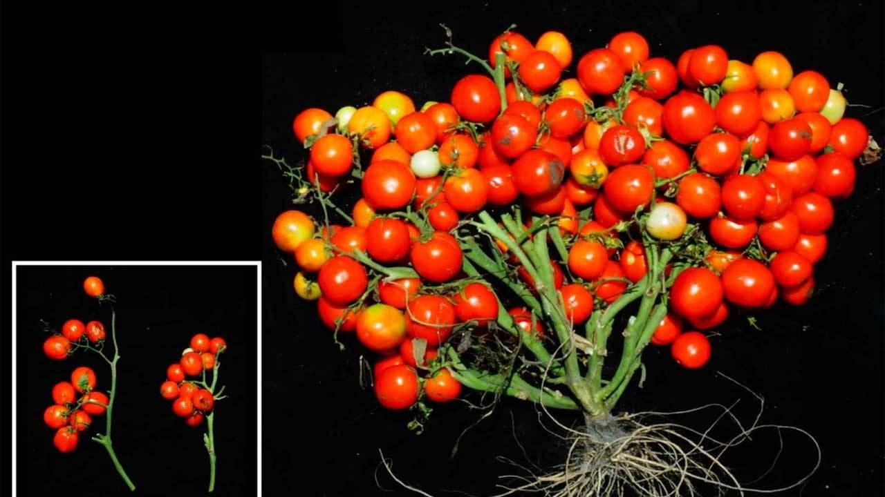 محققان با دستکاری ژنتیکی گیاه گوجه فرنگی را کوچک کردند