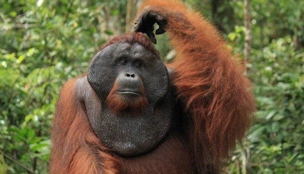 تحقیق دانشمندان روی نحوه برقراری ارتباط در اورانگوتان ها