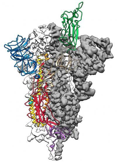 اولین نقشه سه بعدی از گیرنده ویروس کرونا