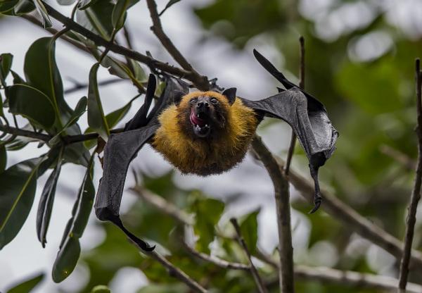 سیستم ایمنی خفاش