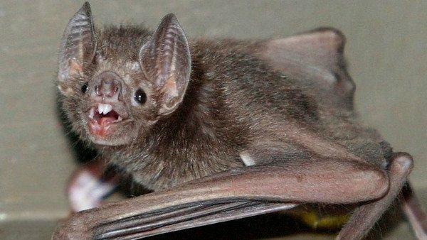 خفاش خون آشام با بالاآوردن خون و قرار آن در دهان هم نوع، با آن دوست می شود