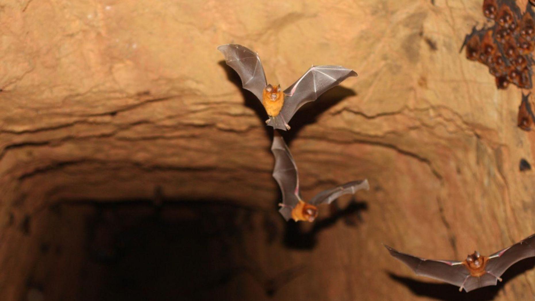 خفاش میزبان کرونا ویروس