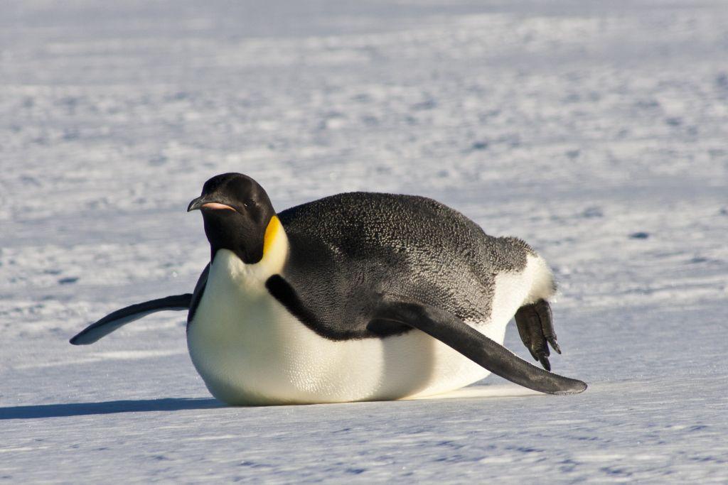 مدفوع پنگوئن امپراطور