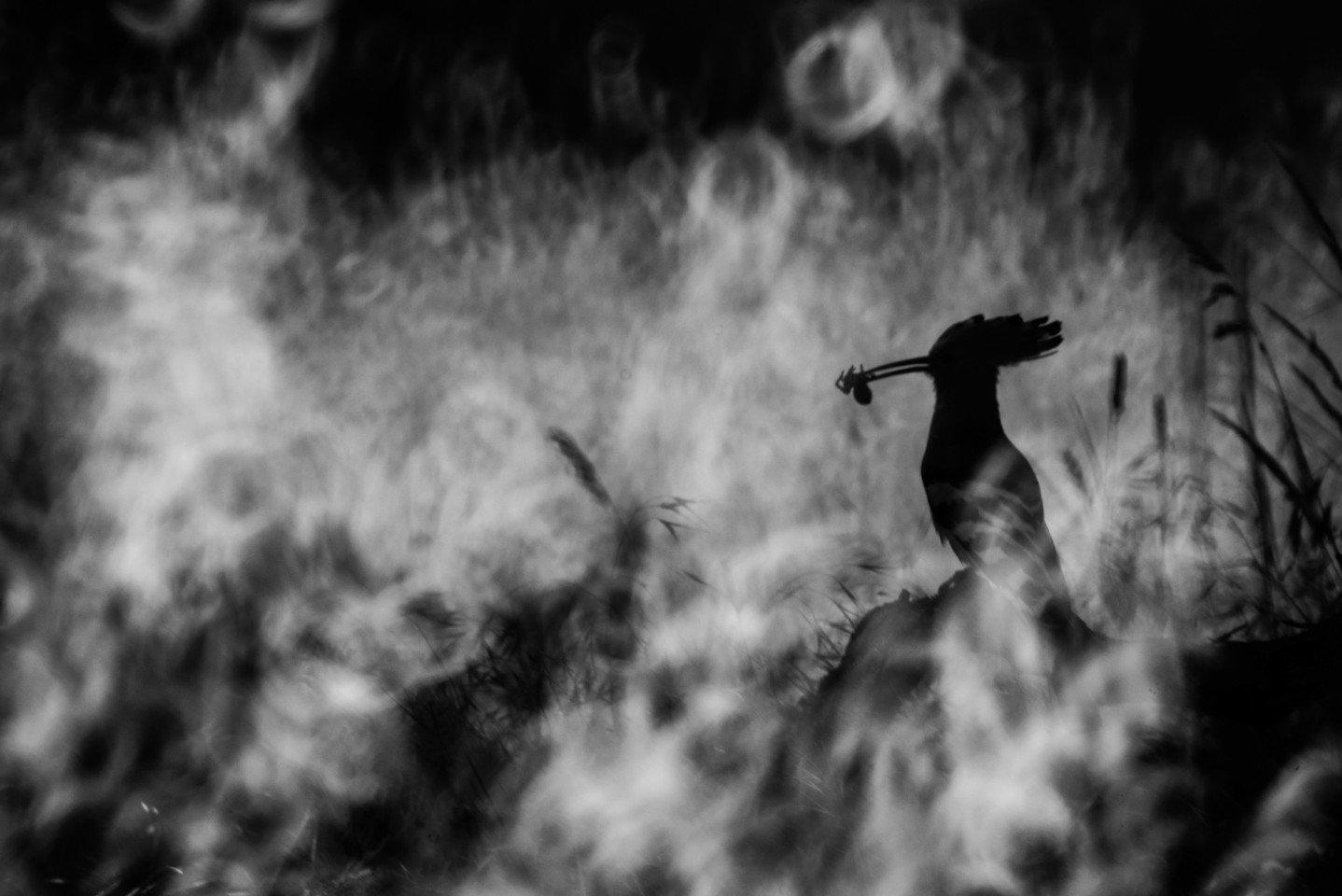 Common Hoopoe تصاویر برگزیده مسابقه عکاسی پرندگان ۲۰۲۰ مشخص شدند اخبار IT
