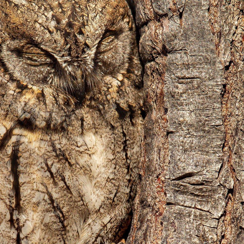 EUrasian Scops owl تصاویر برگزیده مسابقه عکاسی پرندگان ۲۰۲۰ مشخص شدند اخبار IT