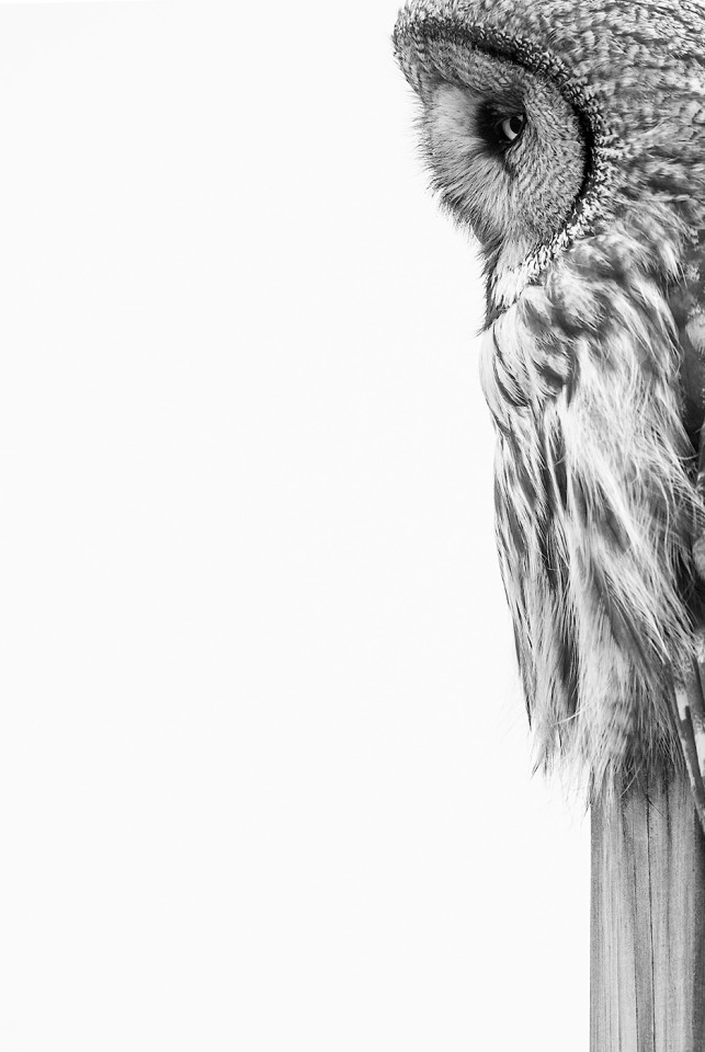 Grey Owl تصاویر برگزیده مسابقه عکاسی پرندگان ۲۰۲۰ مشخص شدند اخبار IT