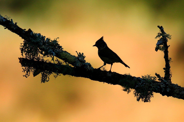 crested tit تصاویر برگزیده مسابقه عکاسی پرندگان ۲۰۲۰ مشخص شدند اخبار IT