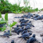 ردیابی شکارچیان غیرقانونی با جاسازی ردیاب در تخم لاکپشت